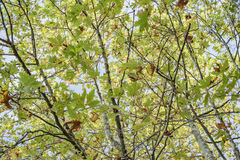 The tree with large green leaves Royalty Free Stock Photos