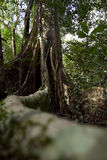Tree with large trunk and big roots Royalty Free Stock Photos