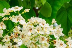 Tree with large white flowers Catalpa Bignonioides.  Stock Images