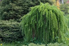 Tree Larix decidua Pendula. European larch tree weeping in the garden Royalty Free Stock Photos
