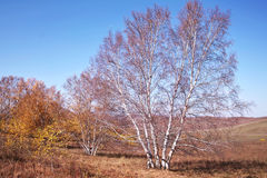 Tree in Late Autumn. A silver birch tree is in an autumn day Stock Photography