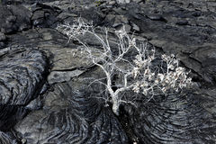 Tree from lava in Hawaii Stock Images