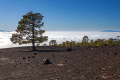 Tree in a lava landscape. Scenic view of a tree growing in a lava landscape on top of Teide mountain with a cloudscape background, Tenerife, Canary Islands Royalty Free Stock Images