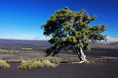 Tree in lava at National Park Royalty Free Stock Photography