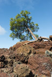 Tree on Lava Rock with blue sky Royalty Free Stock Photo