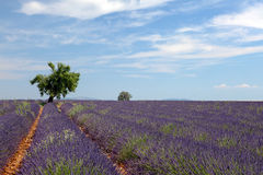 Tree in lavender field royalty free stock photos