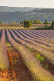 Tree and lavender field Royalty Free Stock Photos