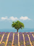 Tree in lavender field, Provence, France Stock Photos