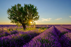 Tree in lavender field at sunset Royalty Free Stock Photo