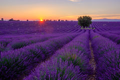 Tree in lavender field at sunset Stock Image