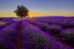 Tree in lavender field at sunset Royalty Free Stock Images