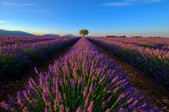 Tree in lavender field at sunset Stock Photography