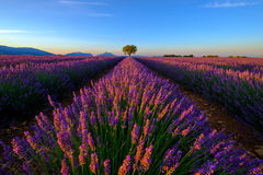 Tree in lavender field at sunset Stock Photos