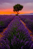 Tree in lavender field at sunset Royalty Free Stock Photography