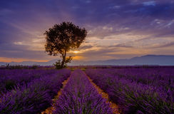 Tree in lavender field at sunset Stock Images