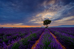 Tree in lavender field at sunset Royalty Free Stock Photos