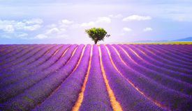 The tree in the lavender Royalty Free Stock Photos