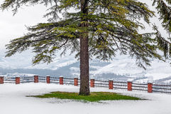 Tree on the lawn covered with snow. Stock Image
