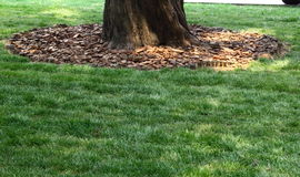 Tree on lawn. Green grass around old tree Royalty Free Stock Photography