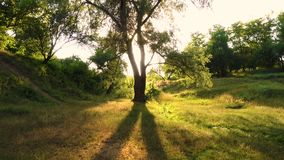 Tree on a lawn at  sunset forest. Tree on a lawn at the sunset forest stock video footage
