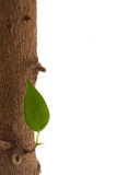 Tree leaf. Isolated ficus tree detail on the white Stock Images