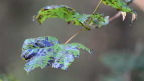 Tree leaf during autumn. Leaf changing color during autumn stock footage