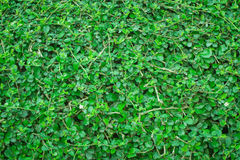 Tree leaf bushes green fence. Tree leaf bushes green fence, Texture background Royalty Free Stock Photo