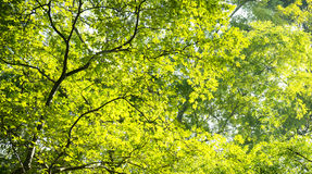 Tree and leaf canopy Royalty Free Stock Photos