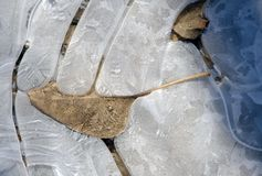 Tree leaf embedded into concentric circles in a layer of ice Royalty Free Stock Image