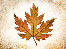 Tree leaf fall Royalty Free Stock Image