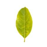 Tree leaf isolated on white on white background Stock Photos
