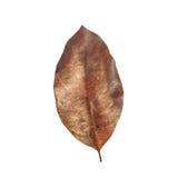 Tree leaf isolated on white on white background Royalty Free Stock Photography