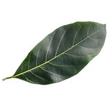 Tree leaf isolated on white on white background Royalty Free Stock Photography