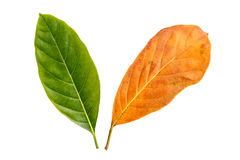 Tree leaf isolated on white on white background Stock Image