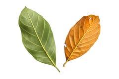 Tree leaf isolated on white on white background Stock Photography