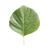 Tree leaf isolated on white on white background Royalty Free Stock Images