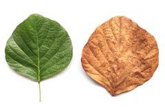 Tree leaf isolated on white on white background Royalty Free Stock Photo
