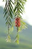 Tree, Leaf, Plant, Pine Family stock photo