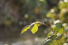 Tree leaf by pond Stock Photography
