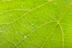 Tree leaf with streaks of and drops of dew close-up shot. Backgr Royalty Free Stock Photo