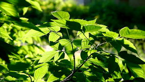 Tree leaf on sunset rays at evening stock video footage