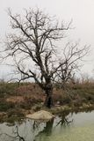 Tree with leafless branches. Reflecting in a lake royalty free stock images