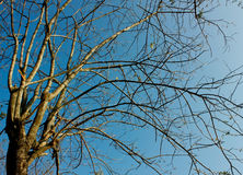 Tree With Leafless Limbs. In Clear Blue Sky Stock Images