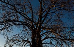 Tree without leafs stock image