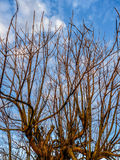 Tree without leafs. With blue sky Stock Photo