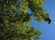 Tree leafs in blue sky Stock Photography