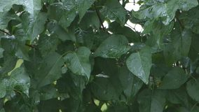Tree leafs on rain stock video footage