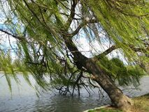 tree-leaning-over-water Stock Photography
