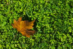 Tree leave sleeping on clover mattress stock images