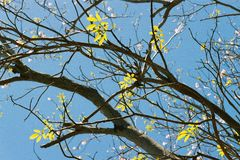 Tree leaves. Backlit in a blue sky Royalty Free Stock Photo